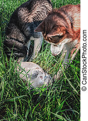 Concept conflict dog vs cat. Two Siberian huskies surrounded...