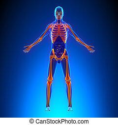 concept, douleur, squelette, -, système, ciculatory, anatomie