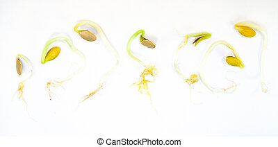 concept, germination, séquence, development., seeds., croissance, citrouille