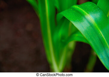Concept growth and freshness. Long extended green plant leaves bright green on dark background close-up. Selective focus. For cover magazine.
