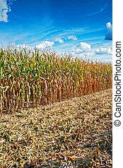 concept, maisveld, rand, landbouwkundig, oogst