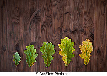Concept of aging, line of oak leaves in different stages of aging. Beautiful oak leaves on wooden background