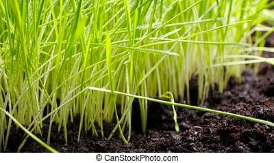 Fresh, green and fertile agriculture plants, grass