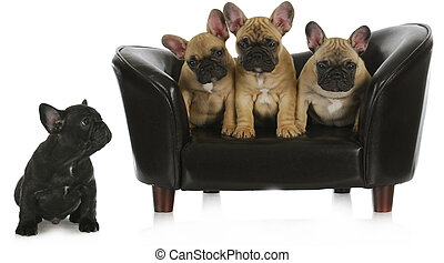 concept of bullying - three similar french bulldogs sitting together on dog couch while different one is separated isolated on white background