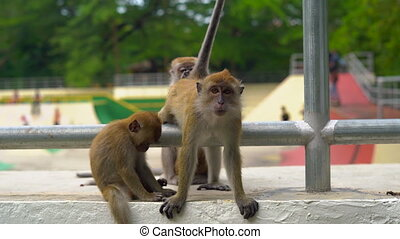 concept of contrasting nature and city. wild monkeys sitting...
