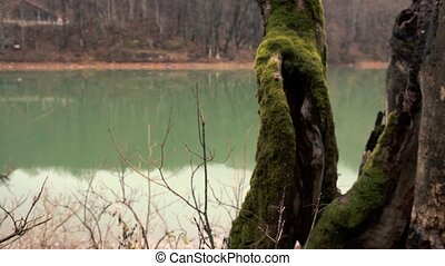 Mystical Old Big Tree Overgrown With Green Moss - Concept Of...