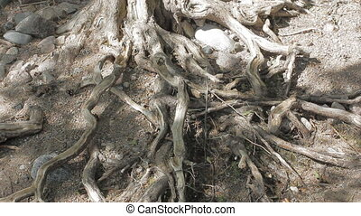 Sea has exposed roots of tree, game of shadows. Concept of fate, waves, sound, birds cries