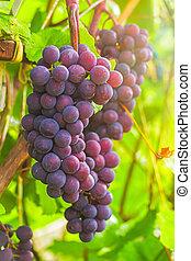 concept, tas, mûre, récolte, vigne, rayons, automne, raisins, sun.