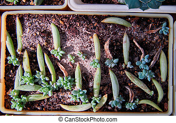Concept Vegetative reproduction plants. Seedlings succulents in bowl with moistened sand and peat. Natural lighting, top view.