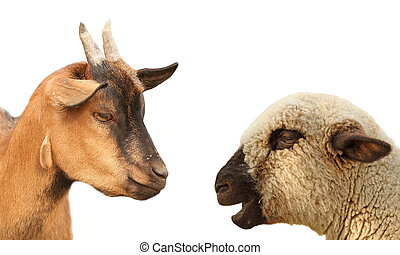 concept with young sheep and brown goat arguing over white background