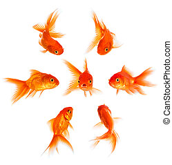 Concept with goldfish. Condemnation and disapproval of the crowd.