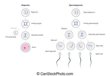 concepto, sistema reproductor