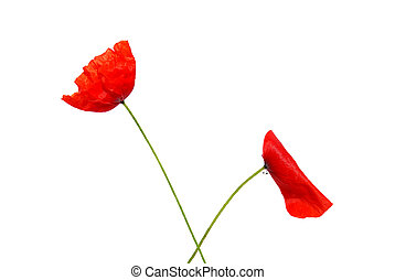 poppies isolated with a white background