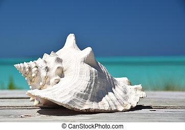 Conch against ocean. Exuma, Bahamas