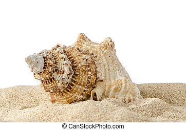 conch coquille