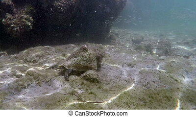 Conch eating from the bottom with fish behind it