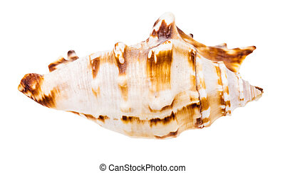conch of sea snail isolated on white