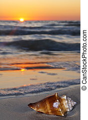 Conch on the beach at Sunset