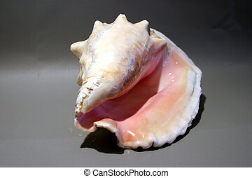 conch shell #1 - a beautiful Conch Snail shell (directly ...