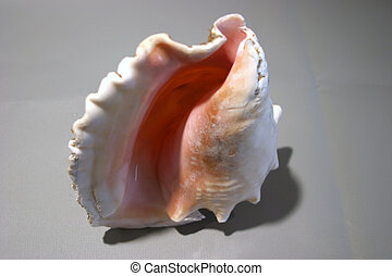 conch shell #2 - a beautiful Conch Snail shell (directly ...