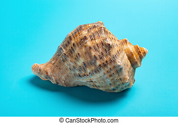 conch shell on a blue background close up