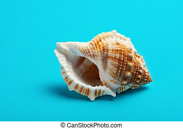 conch shell on a blue background