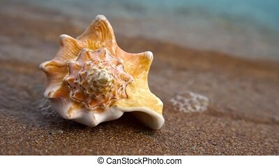 Conch shell on sand beach