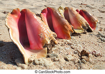 Beautiful pink conch shells lined up on a sandy beach in the Caribbean