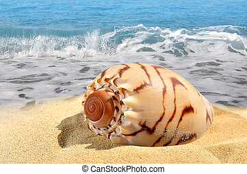 concha conch