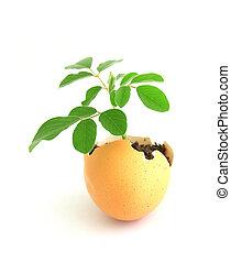 concha, crescendo, fundo, planta, ovo, verde branco