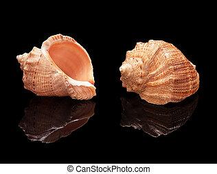 concha marina, conjunto, en, un, fondo negro, aislado