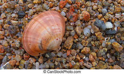 concha marina, en la playa