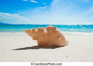 concha marina, en, playa