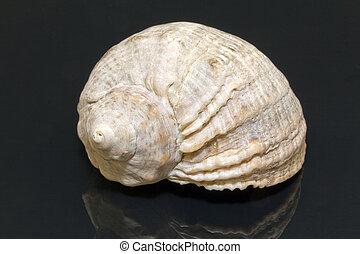 concha marina, solo, negro, aislado, plano de fondo