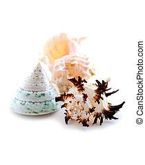 conchas de mar, blanco