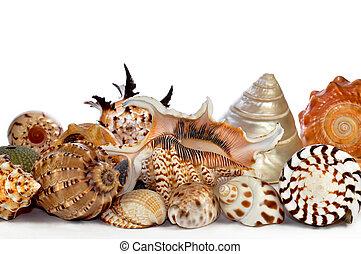 conchas, mar, tropicais
