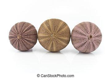 conchas, tres, erizo de mar
