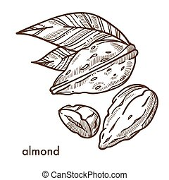 conchiglia, foglie, mandorla, tropicale, delizioso, piccolo