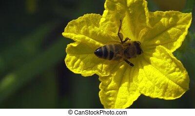 concombre, abeille, féconder, miel, fleur, solitaire