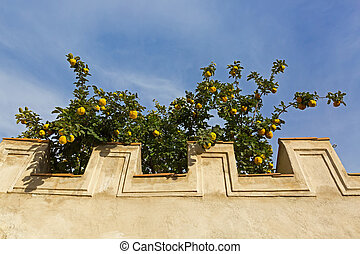 Concrete wall with big yellow Quince fruit tree growing ...