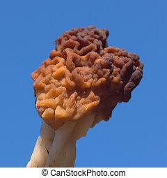 Conditionally edible fungi Gyromitra esculenta close up against sky