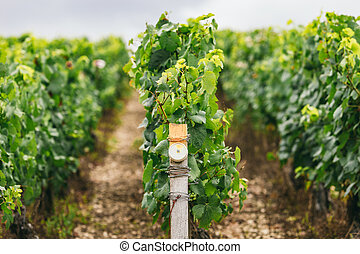 Conditions of growing grapes in France