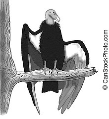 condor, california