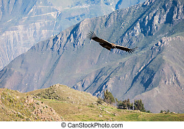 Condor flight - Condor flying near Cruz Del Condor...