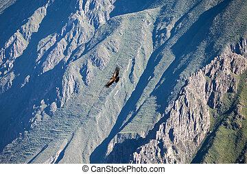 Condor flight - Condor flying near Cruz Del Condor...