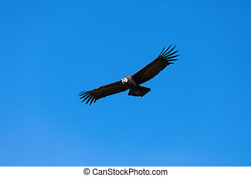 Condor flight - Condor flying on the blue sky background,...