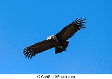 Condor flight - Condor flying on the blue sky background,...