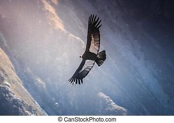 Condor flying high - Condor flying near Cruz Del Condor...