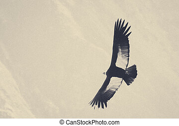 Condor flying high - Condor flying near Cruz Del Condor...