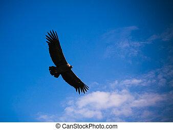 Condors above the Colca canyon at Condor Cross or Cruz Del...